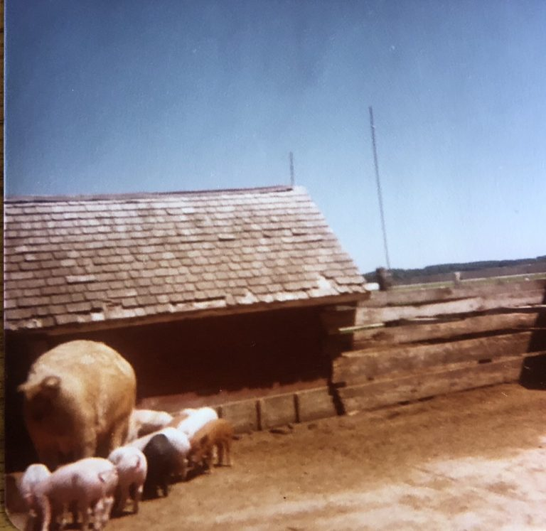 Pig pen on the dairy farm