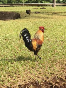 Chickens everywhere at Hilton Garden Inn Kauai